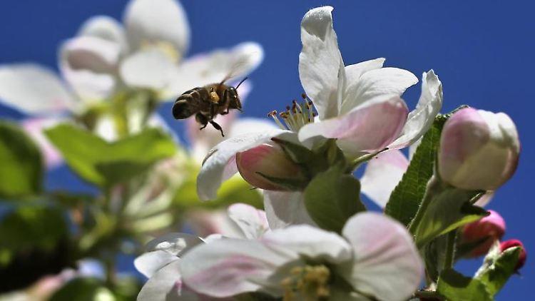 Eine Biene fliegt eine Apfelblüte an. Foto: Karl-Josef Hildenbrand/Archivbild
