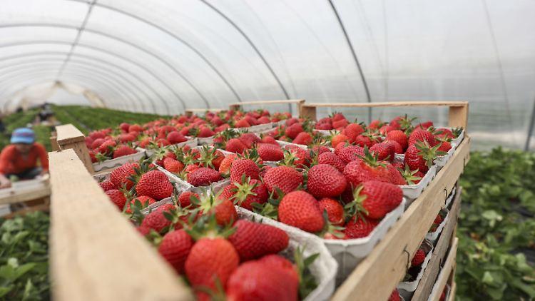 Gemeinsame Reife Früchte schon ab April: Deutsche Erdbeeren wachsen öfter &BQ_65