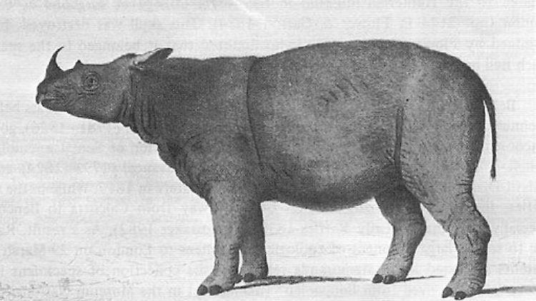 Dicerorhinus_sumatrensis_Bell_1793.jpg