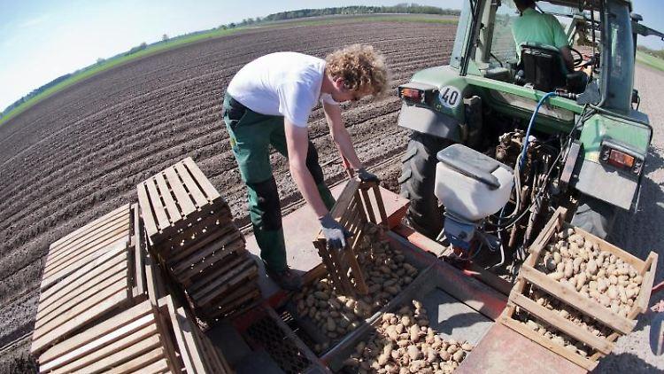 Vorgekeimte Kartoffeln werden von einem Landwirt auf einem Feld in Dämmen gesetzt. Foto: Julian Stratenschulte/Archivbild
