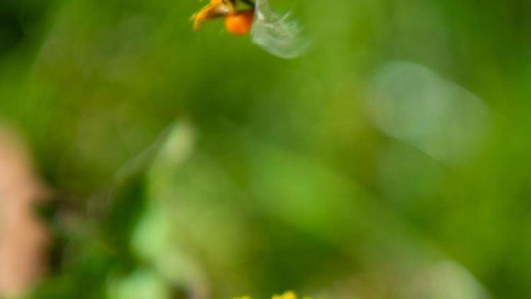 Eine mit Pollen schwer beladene Biene hebt von einem Löwenzahn ab. Foto:Nicolas Armer/Archivbild