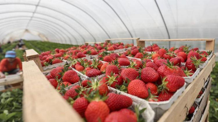 Erdbeeren aus Folienanbau werden nach der Ernte in Körnchen gestapelt. Foto: Lukas Görlach/Archiv