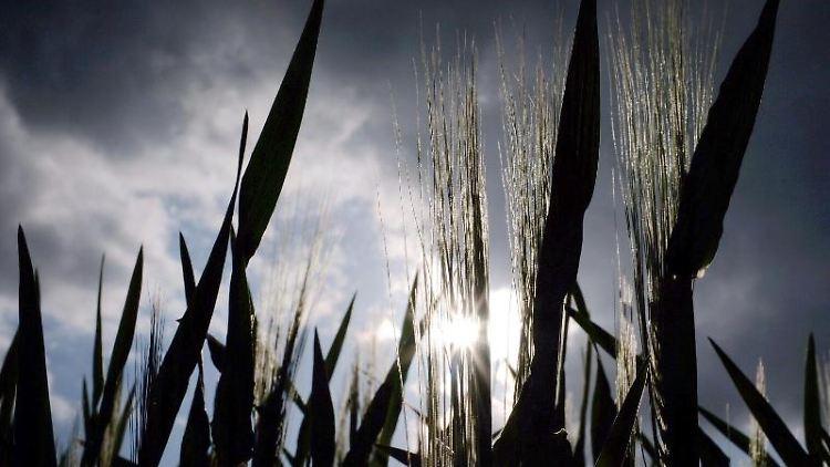 Hinter einem Gerstenfeld scheint am Abend die Sonne durch eine Ähre. Foto: Martin Gerten/Archivbild