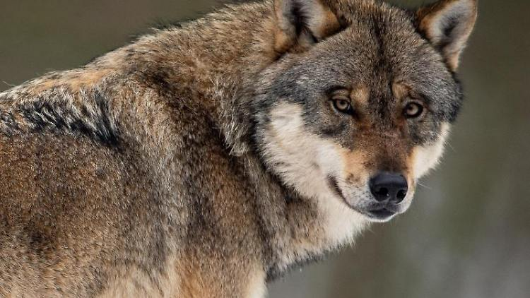Das hessische Umweltministerium will Schafhalter beim Schutz ihrer Tiere vor Wolfsrissen besser unterstützen. Foto: Swen Pförtner/dpa/Archiv