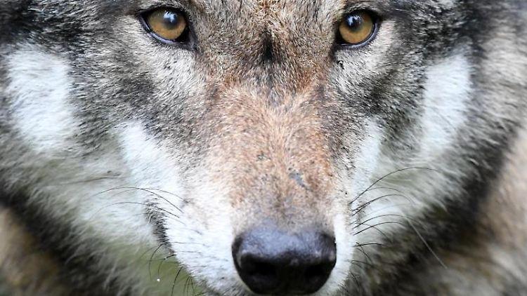 Ein Wolf steht in seinem Gehege. Foto: Carsten Rehder/Archivbild