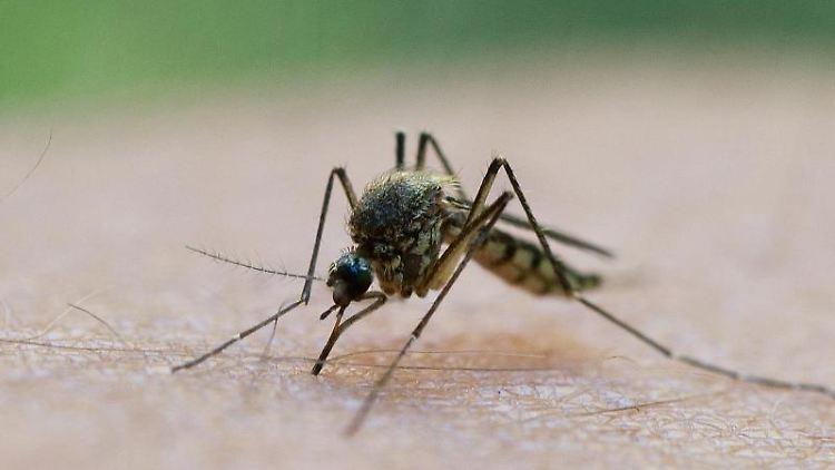 Eine Mücke saugt Blut aus dem Arm eines Mannes. Foto: Patrick Pleul/Archiv