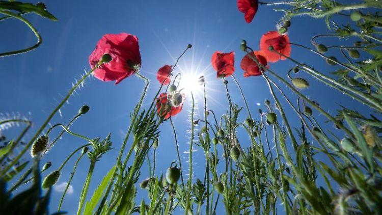 Roter Klatschmohn blüht vor blauem Himmel und der Sonne. Foto: Sven Hoppe/Archivbild