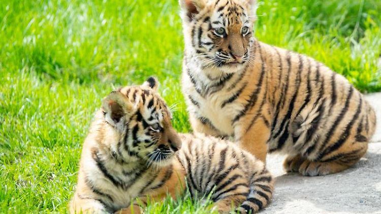 Zwei junge Sibirische Tiger liegen im Gehege im Zoo in Hannover. Foto: Peter Steffen