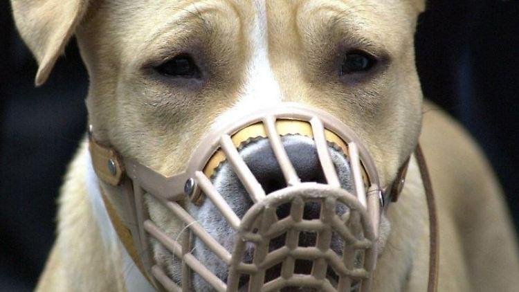 Ein American Staffordshire Terrier mit Maulkorb wird auf einer Demonstration von Hundehaltern an der Leine gehalten. Foto: Uwe Zucchi/Archivbild