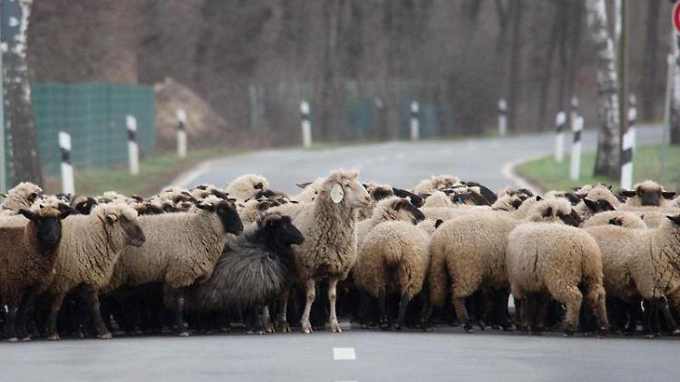 Ein Schäfer treibt seine Schafe über eine Straße auf eine Weide. Foto: Raphael Knipping