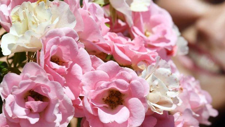 """Eine Besucherin betrachtet eine Floribunda-Rose mit Namen """"Roselina"""", im Rosenneuheitengarten auf dem Beutig. Foto: Uli Deck/Archiv"""