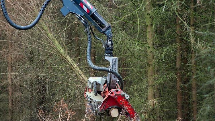 Ein Nadelbaum wird gefällt. Foto: Klaus-Dietmar Gabbert/Archivbild