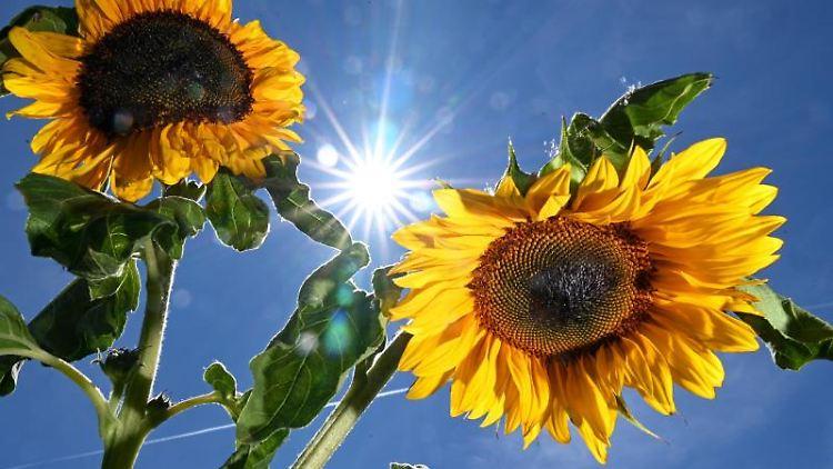 Die Sonne scheint von einem blauen Himmel zwischen zwei Sonnenblumen hindurch. Foto: Felix Kästle/Archivbild