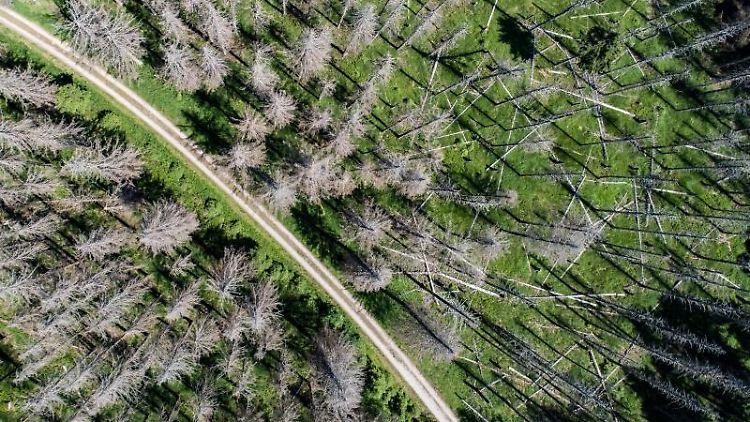 Zahlreiche, vom Fichtenborkenkäfer befallene Fichten. Foto: Swen Pförtner