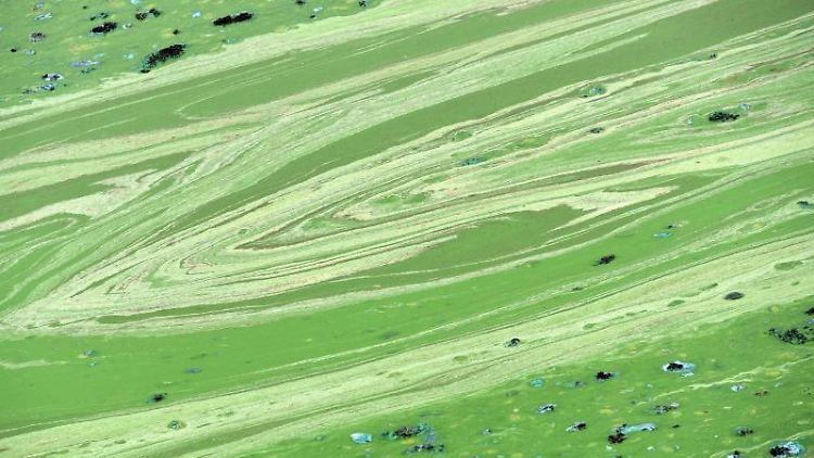 Blaualgen haben erzeugen auf der Wasseroberfläche giftgrüne Schlieren. Foto: Uwe Zucchi/Archivbild