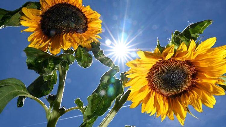 Sonne mit Sonnenblumen. Foto: Felix Kästle