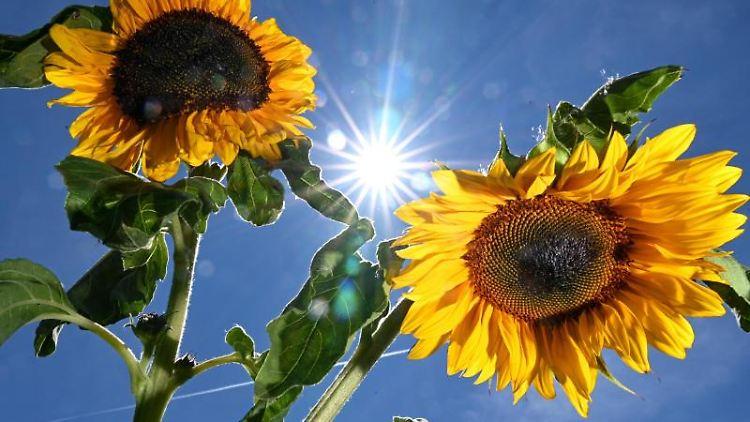 Sonne hinter Sonnenblumen. Foto: Felix Kästle