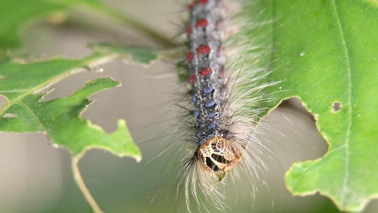 Die Raupe des Schwammspinners (Lymantria dispar) auf einem Blatt der Roteiche. Foto: Sebastian Willnow/Archivbild