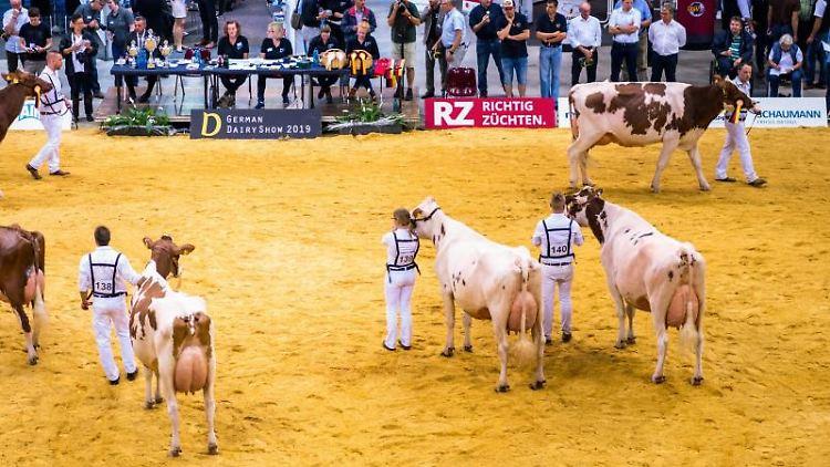 Teilnehmer präsentieren ihre Kühe bei der Rinderzuchtschau German Dairy Show. Foto: Mohssen Assanimoghaddam