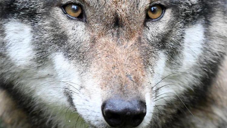 Das Gesicht eines Wolfs ist zu sehen. Foto: Carsten Rehder/Archiv