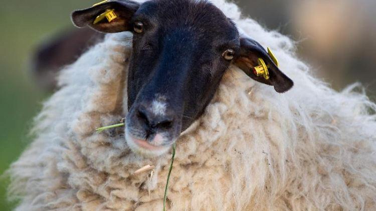 Ein Schaf steht auf einer Weid. Foto: Monika Skolimowska/Archivbild