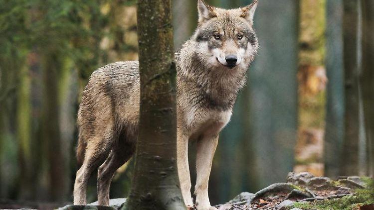 Ein Wolf. Foto: Klaus-Dietmar Gabbert/Archivbild