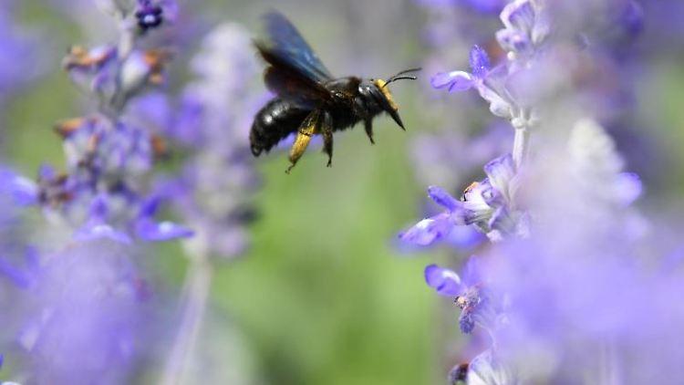 Eine Wildbiene sucht in der Stadtgärtnerei an Blüten des Mehlsalbeis nach Nektar. Foto:Uwe Anspach/Archivbild