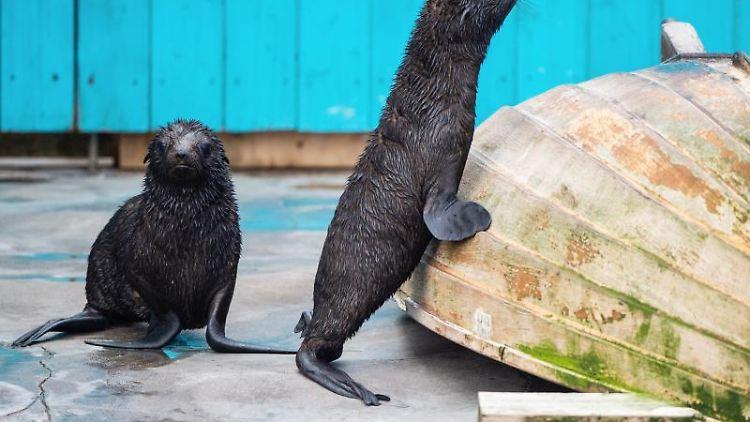 Die Nördlichen Seebärenkälber James und Hudson spielen in ihrem Gehege im Zoo Hannover. Foto: Christophe Gateau