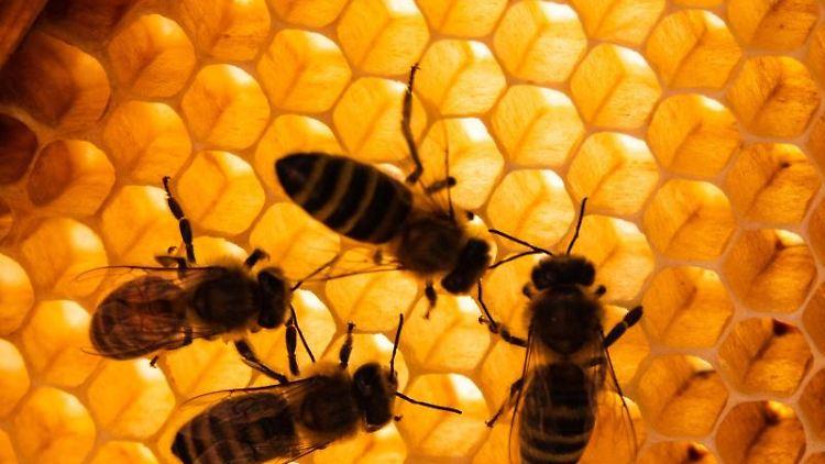 Honigbienen sitzen auf Bienenwaben. Foto:Cindy Riechau