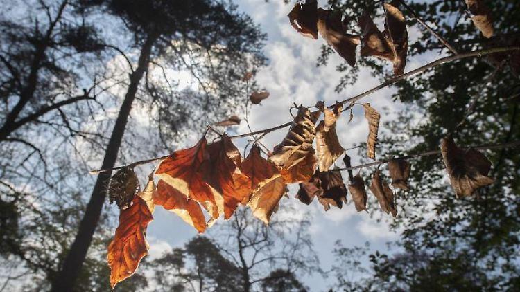 Völlig vertrocknet sind die Blätter einer Buche. Foto:Boris Roessler