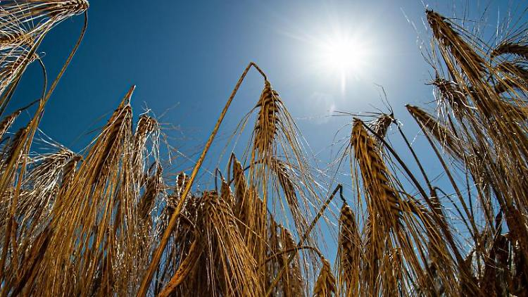 Die Sonne scheint bei strahlend blauem Himmel über einem Gerstenfeld. Foto:Swen Pförtner