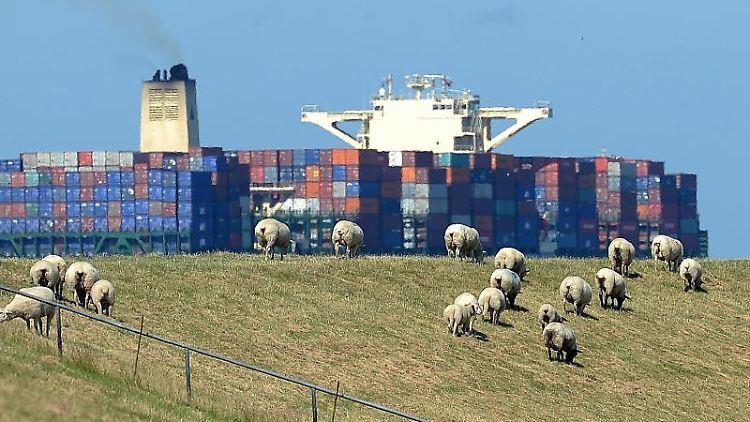 Schafe grasen auf dem Elbdeich, während ein großes Containerschiff auf der Elbe vorbeizieht. Foto:MarcusBrandt/Archivbild