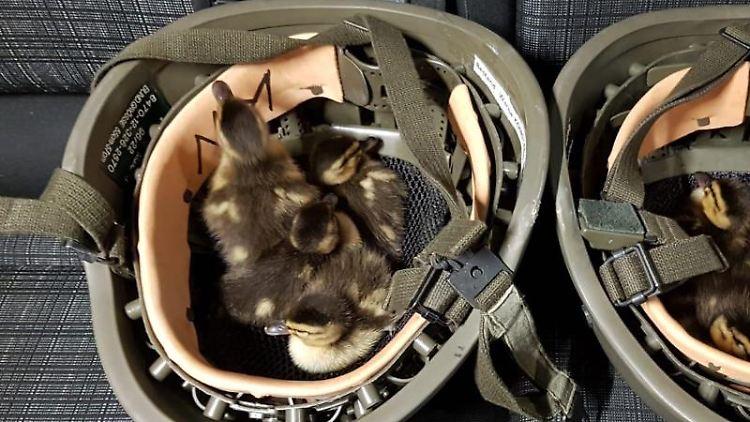 In Bundespolizei-Helmen sitzen Entenküken, die Beamte der Bundespolizei zuvor am Bahnhof in Konstanz eingesammelt hatten. Foto: Bundespolizei