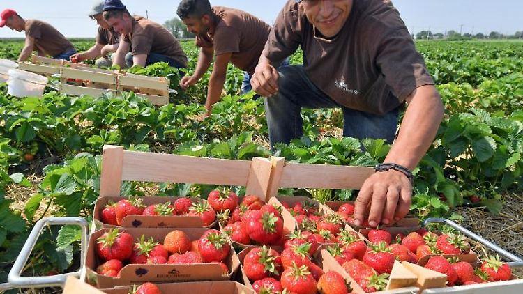 Die Brandenburger Obstbauern können in diesem Jahr auf eine gute Erdbeerernte hoffen. Foto: Hendrik Schmidt/Archivbild