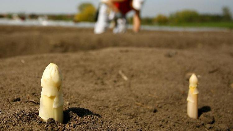 Wegen der Trockenheit haben die Brandenburger Bauern in diesem Jahr weniger Spargel geerntet als im Vorjahr. Foto: D. Karmann/Archivbild