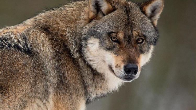 Ein Wolf steht in einem Gehege im Wildpark Neuhaus. Foto: Swen Pförtner/Archiv