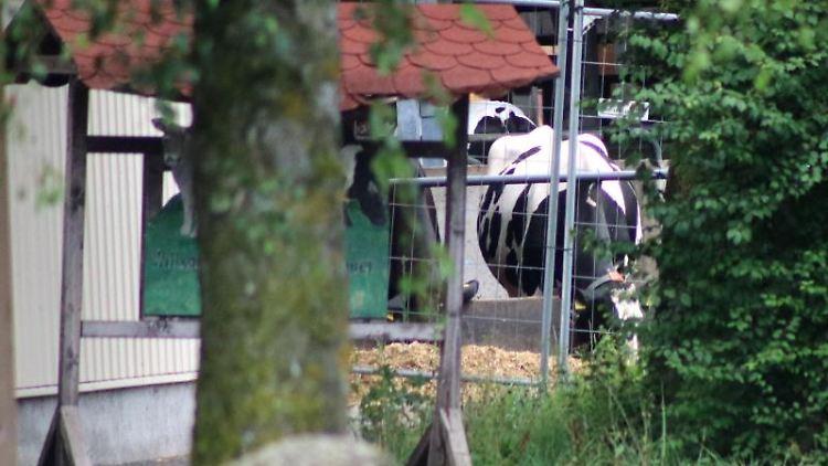 Eine Kuh ist auf einem Bauernhof zu sehen. Foto: Benjamin Liss