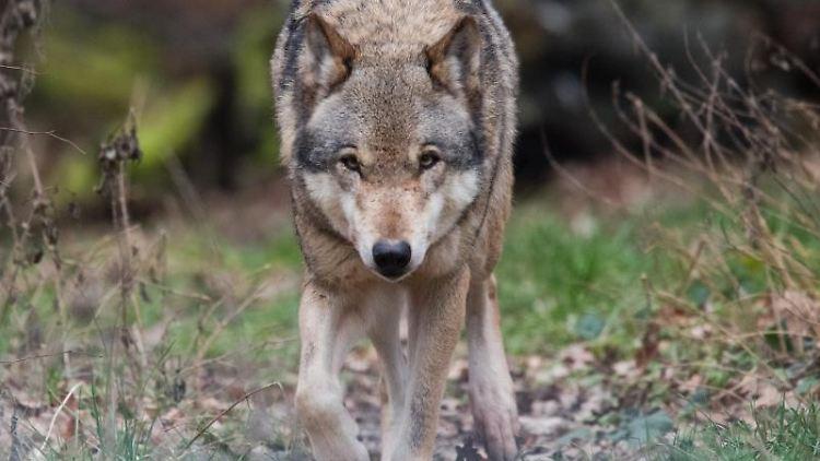 Ein Wolf streift durch ein Gehege. Foto: Julian Stratenschulte/Archivbild