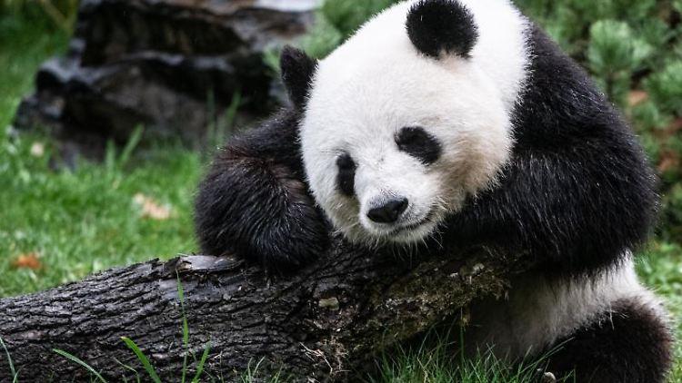Pandabärin Meng-Meng sitzt in ihrem Gehege im Zoo. Foto: Paul Zinken/Archivbild