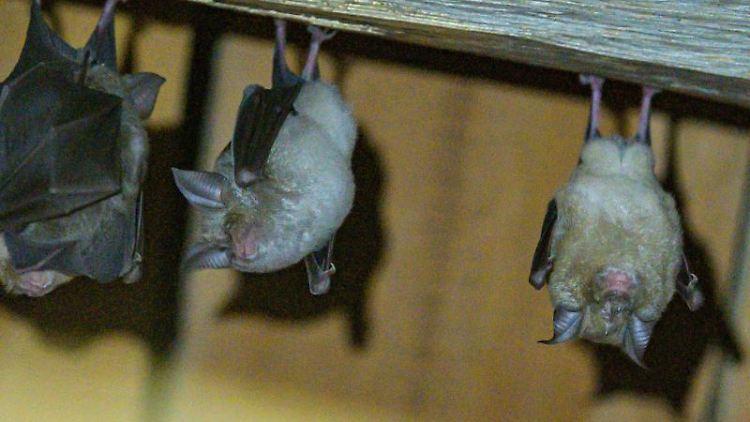 Hufeisennasen-Fledermäuse hängen an der Decke. Foto: Armin Weigel/Archivbild