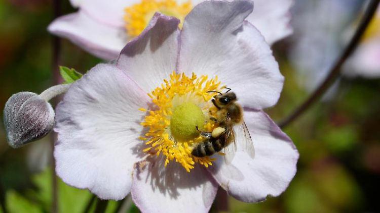 Eine Biene sammelt Nektar. Foto: Roberto Pfeil/Archivbild