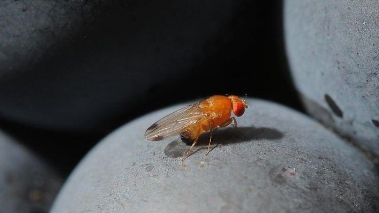 Eine Kirschessigfliege (Drosophila suzukii). Foto:Fredrik von Erichsen