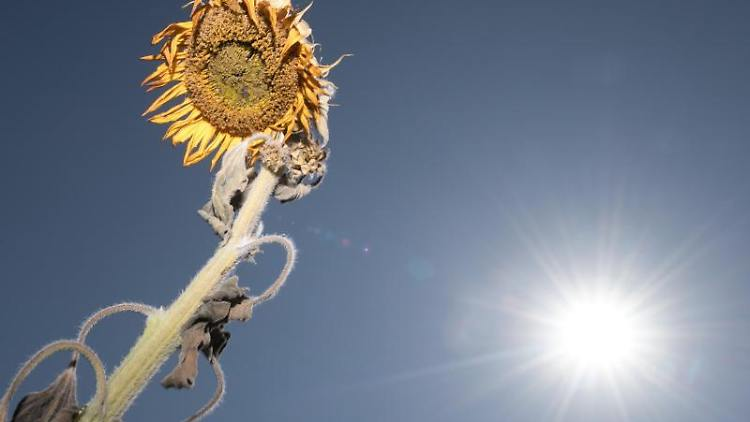 Eine vertrocknete Sonnenblume steht auf einem Feld. Foto: Sebastian Kahnert
