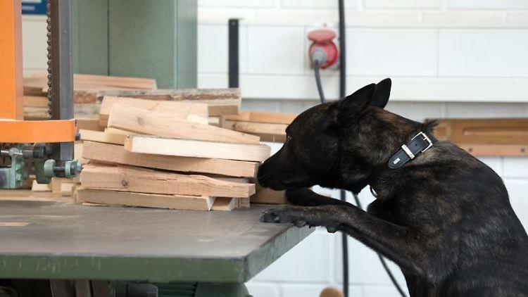Ein Drogenspürhund sucht in einer Gefängniszelle nach Drogen. Foto:Federico Gambarini/Archivbild