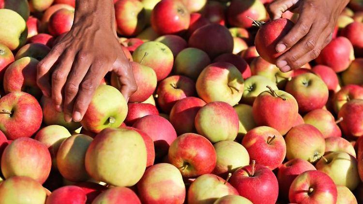 Jemand sortiert Äpfel der Sorte Elstar auf einer Obstplantage. Foto: Jan Woitas/Archivbild