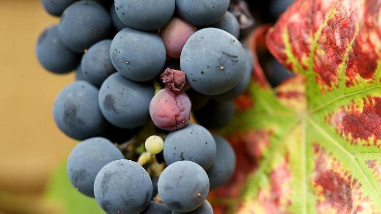 Fast reife Weintrauben hängen an einem Rebstock. Foto: Roland Weihrauch/Archiv