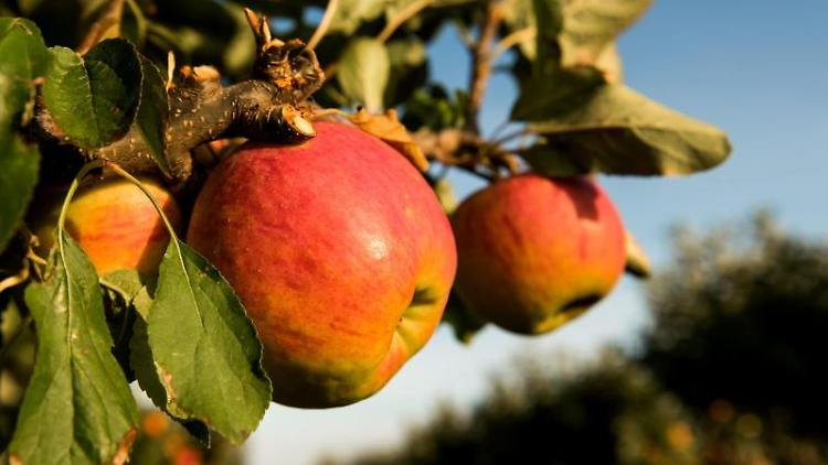 Reife Äpfel hängen auf einem Feld mit Apfelbäumen an einem Baum. Foto: Daniel Bockwoldt/Archivbild