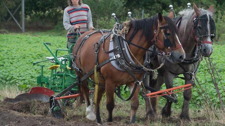 Beate Rzanny-Götz, Bäuerin hält auf einem Pflug die Zügel der Pferde Hanni und Froni in der Hand. Foto: Stefan Sauer/Archivbild