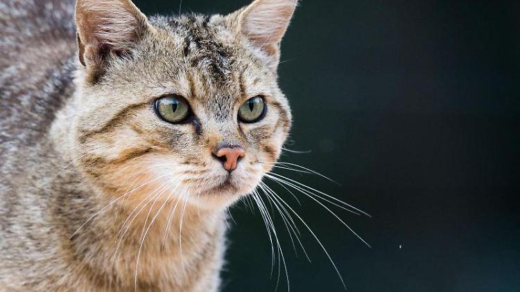 In Niedersachsens Wäldern breiten sich Wildkatzen (Felis silvestris) immer weiter aus. Foto: Julian Stratenschulte/Archivbild