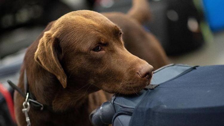 Ein Drogenspürhund schnüffelt während einer Gepäckkontrolle des Zolls am Flughafen. Foto: Marius Becker/Archivbild